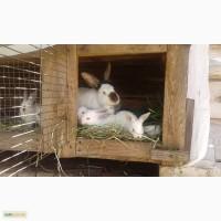 Калифорнийские кролики (крольчата)