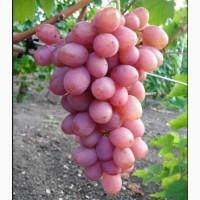 Саженцы винограда сорт Днепровский Розовый