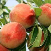 Отличные саженцы персика