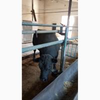 Продам племенных быков Абердин-ангусс, Лимузин