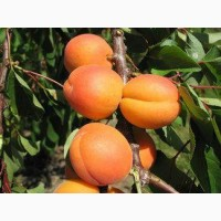 Продам саженцы абрикоса, алычи, сливы