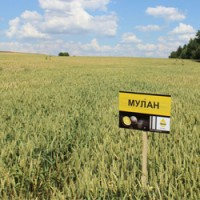 Озимая пшеница Мулан (Saaten Union Германия)