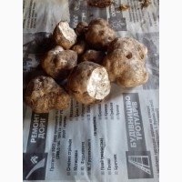 Продам Карпатський білий трюфель (гриб)