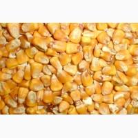 Продаю фуражну кукурудзу