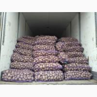 Продам картоплю, сорт Гала, Скарб, Белароса