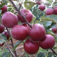 Продаю яблоки Флорина из собственного сада