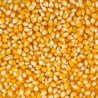 Продам кормовую кукурузу на Экспорт