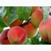 Купим персик