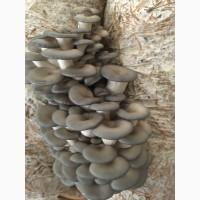 Продам грибы вешека (глива)