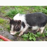 Продам вьетнамскую поросную свиноматку