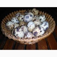 Продам перепелиные яйца домашние