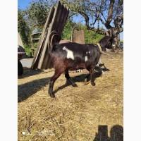 Продам молочную козу. Девичье молоко, доилась до огула