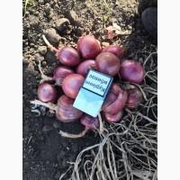 Продам салатный красный лук, сорт Пинк Лонг, калибр 5+7