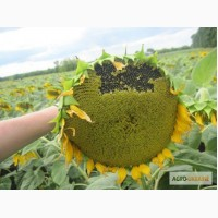 Насіневий матеріал соняшника