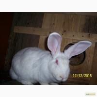 Продам кролів породи термонська біла