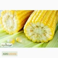 Підприємство закуповує кукурудзу врожаю 2016 року по всій Україні