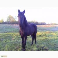 Продам мясо молодого коня