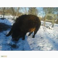 Венгерська Мангалиця: хряк, свиноматки, підсвинки і поросята