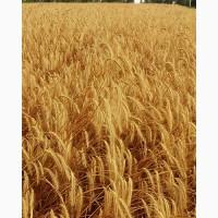 Семена озимой ржи (жито) Стоир (Стоір) - Еліта