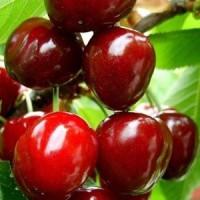 Саженцы вишни сорт Чудо Вишня