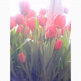 Продам тюльпаны цветущие красные
