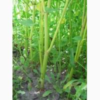 Канадский сорт гречихи GRANBY, Гранби семена на посев-Гречка