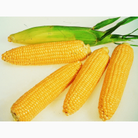 РАСПРОДАЖА семена кукурузы и подсолнуха