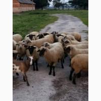 Барани, вівці, ягнята, овцы соффолк. Продаж баранів, овець, ягнят