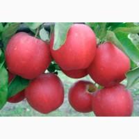 Продам саженцы яблони, груши, айвы