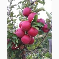 Продам яблука сорт Чемпіон та Голден. Урожай 2018