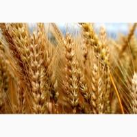 Пшеница Магистраль семена озимой пшеницы