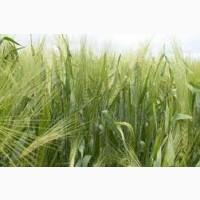 Семена ржи (жито) озимой Память Худоерка