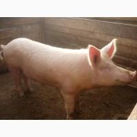 Жива вага по 115-130 кг. Свині схрещені з 3 м#039;ясних порід