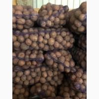 Продам картофель сорт Бела Росса