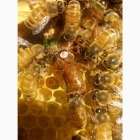 Продам бджоломатки інструментального запліднення (ІО/ШЗ)