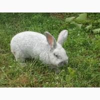 Продам кролів породи європейське срібло, біла термонська