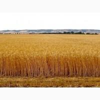 Закупівля пшениці, кукурудзи, сої, соняшнику. Самовивіз