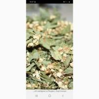 Закупаем лист боярышниеа с цветом, цвет каштана, бузины, липы, акации
