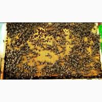 Продам пчелопакеты порода карпатка и есть карника