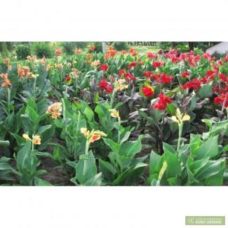 Продам корневища канны садовой (20 сортов)