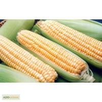 Предлагаю высококачественные посев материал, Кукурузы ОРЖИЦЯ 237 МВ F1