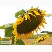 Пропонуємо насіння соняшника гібрид Нео толерантний до гранстару