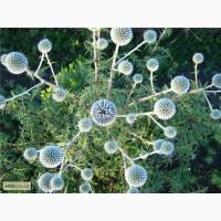 Семена и саженцы Мордовник шароголовый( крутай, головатень) медоносы Украина