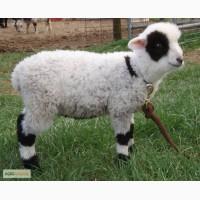 Карликовые овцы, мини овцы