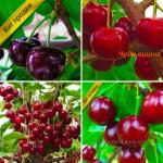 Саженцы крупноплодных сортов вишни и черешни Питомник Чудеса Сада
