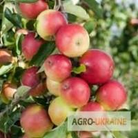 Продам яблука, урожай 2018