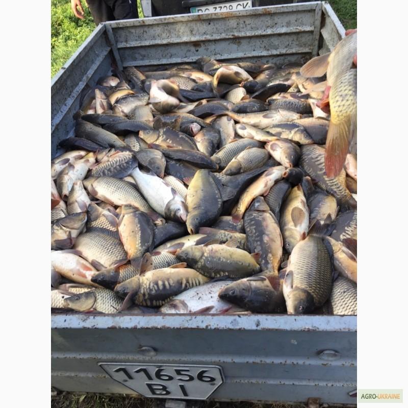 fffd060554b39f Риба жива оптом з доставкою - Форель, короп, карась, Амур, толстолоб ...