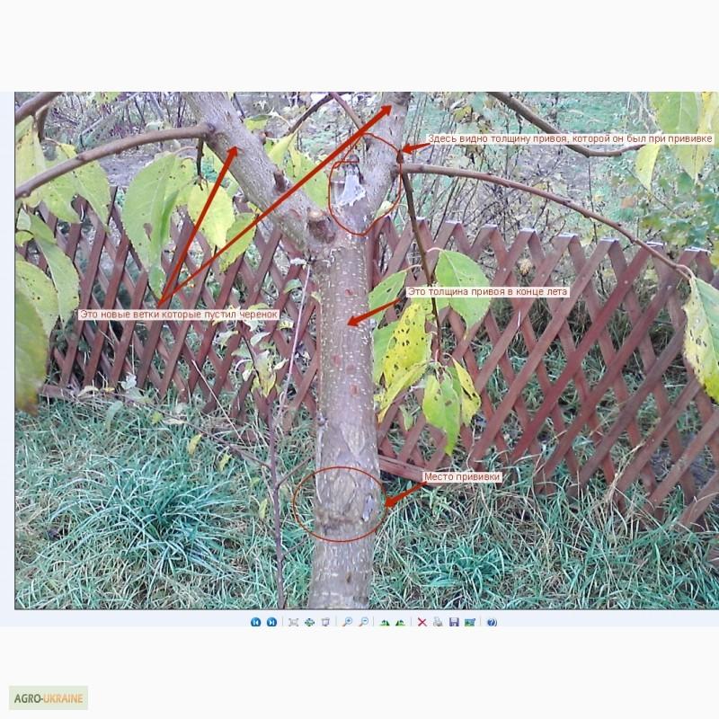 Лента для прививки деревьев купить