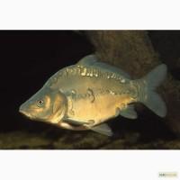 Мальок коропа 100-150 грамів