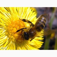 Куплю пчелопакеты крупным оптом